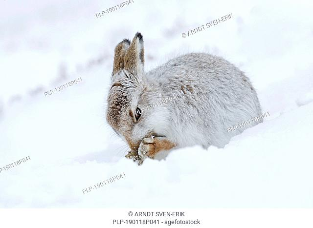 Mountain hare / Alpine hare / snow hare (Lepus timidus) in white winter pelage grooming fur