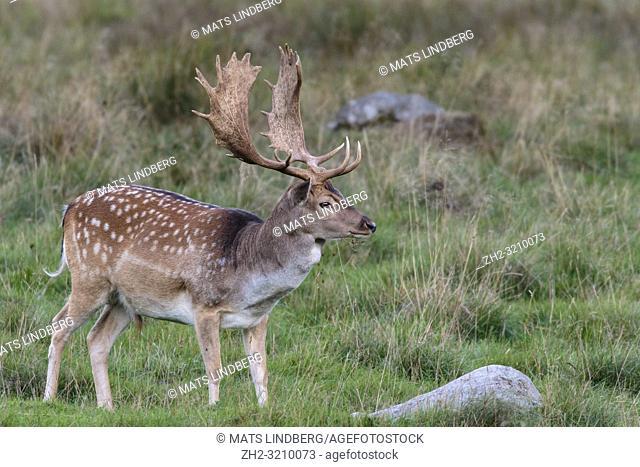 Fallow deer, buck, standing looking away from the camera, Jaegersbors dyrehaven, Denmark
