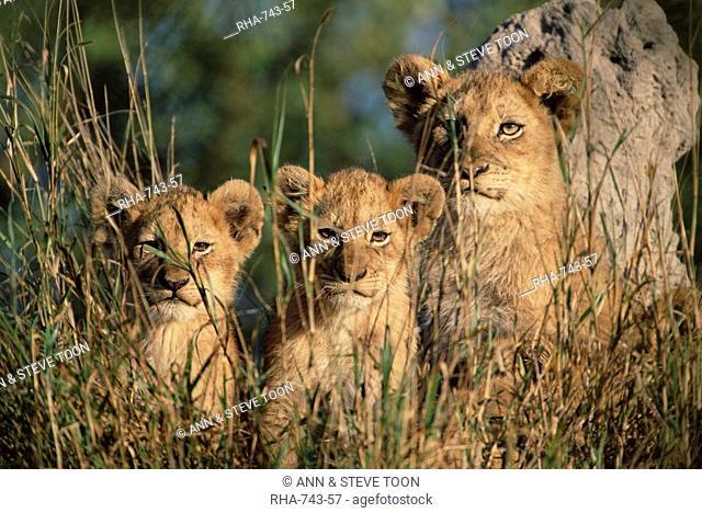 Lion cubs, Panthera leo, Kruger National Park, South Africa, Africa