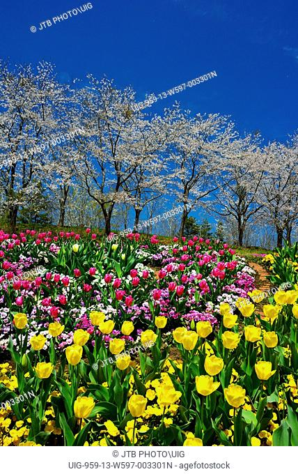 Japan, Tohoku Region, Miyagi Prefecture, Shibata, Kawasaki, Cherry trees and tulip flowers at Michinoku Forest