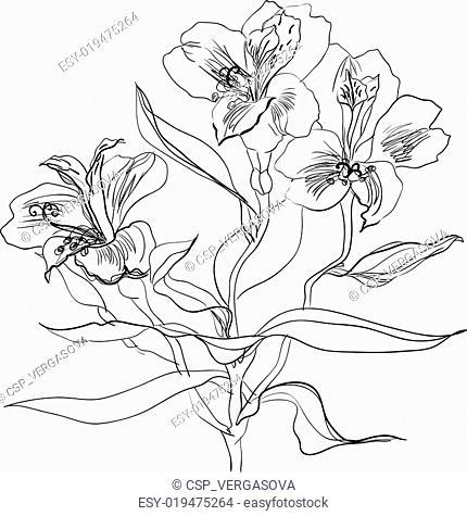 brush drawing alstrameriya flower