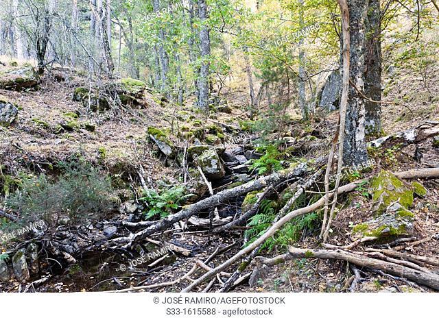 Birchwood in the Sierra de Guadarrama  Canencia  Madrid  Spain