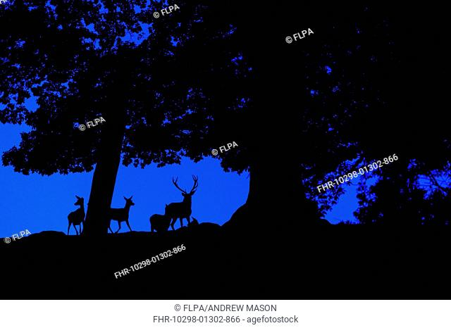 Red Deer (Cervus elaphus) stag and hinds, silhouetted amongst trees at dusk, Bradgate Park, Leicestershire, England, October