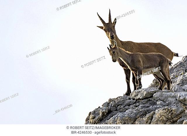 Alpine ibex, also steinbock or bouquetin (Capra ibex), goat with kid standing on rock, Gramais, Lech Valley, Tyrol, Austria