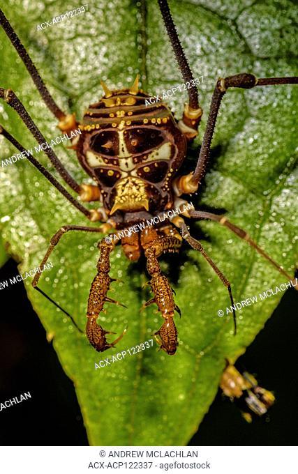 A species of Harvestman Spider in the Cordillera Escalera of the Amazon Rainforest near Tarapoto, Peru