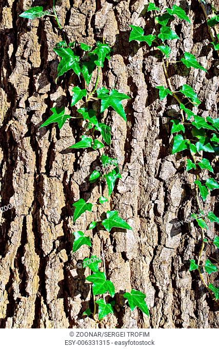 Ivy ordinary or ivy climbing (lat. Hedera helix)