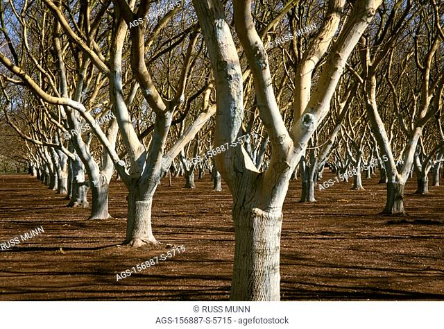 Agriculture - A mature walnut orchard in the late winter dormant period / CA - Linden