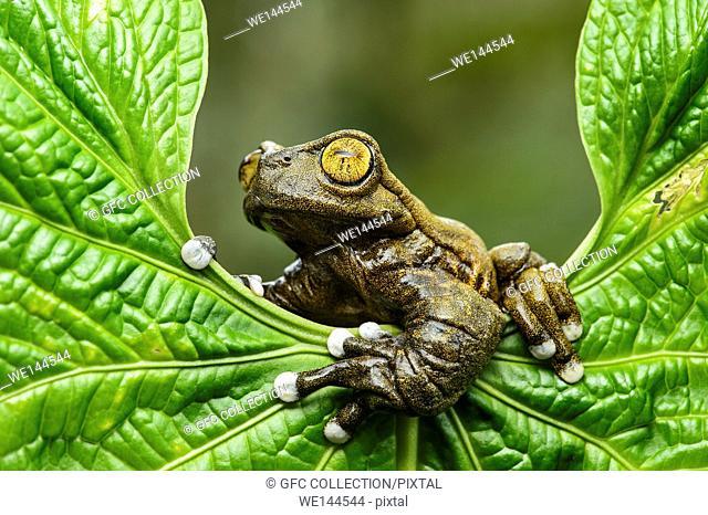Neotropical treefrog Tapichalaca Torrenteer (Hyloscirtus tapichalaca), Treefrog family (Hylidae), endemic to Ecuador, occurs only in remote