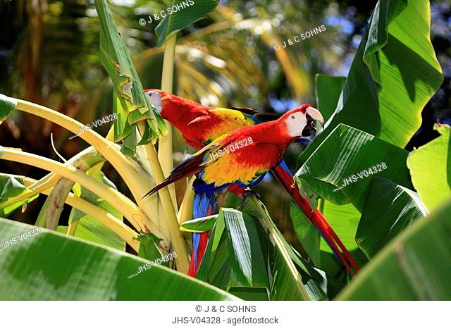 Scarlet Macaw,Ara macao,Roatan,Honduras,Caribbean,Central America,Latin America,two adults calling on banana plant