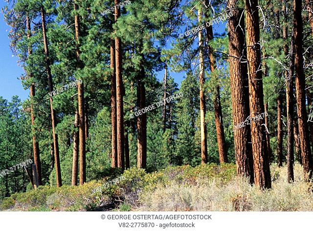 Ponderosa pine (Pinus ponderosa) forest near Camp Sherman, Deschutes National Forest, Oregon