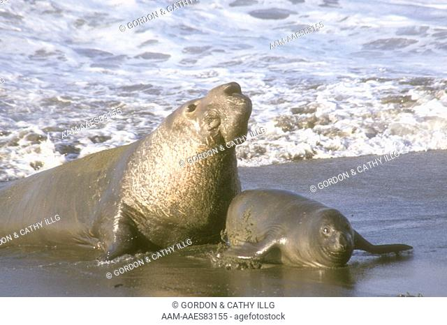 N. Elephant Seal Bull and Cow (M. angustirostris), CA, San Luis Obispo Co. California