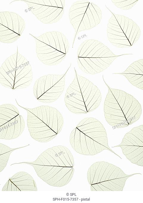 Leaf skeletons of bodhi tree (Ficus religiosa) leaves, studio shot