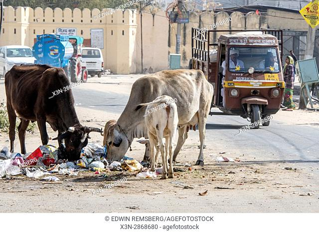 Traffic moves passed as steer and other local animals eat through trash and debris on the street in Jaipur, India