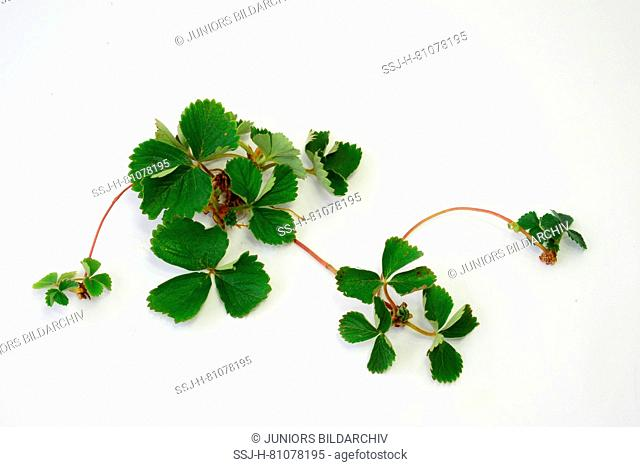 Strawberry (Fragaria x ananassa). Plant with runners. Studio picture against a white background. Germany