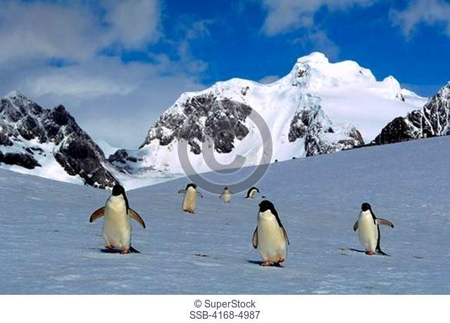 antarctica, south orkney islands, laurie island, adelie penguins walking on snow, returning from sea