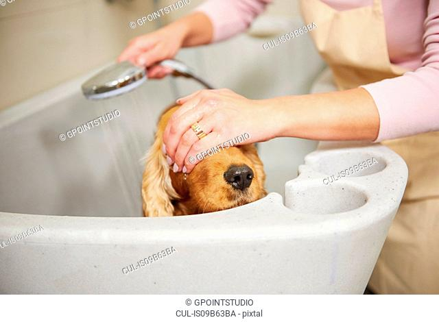 Hands of female groomer covering cocker spaniel's eyes in bath at dog grooming salon