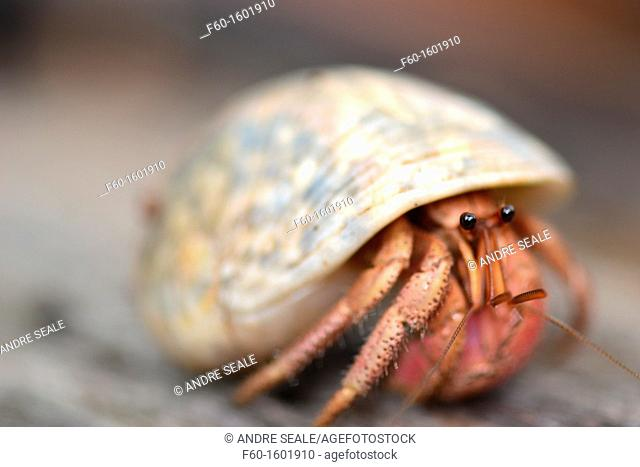 Hermit crab, Pohnpei, Federated States of Micronesia