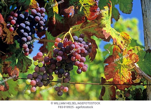 France, Dordogne region, near Montpeyroux, wine grapes in late August