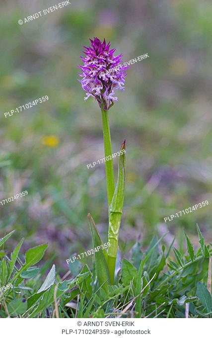 Three-toothed orchid (Neotinea tridentata / Orchis tridentata) in flower