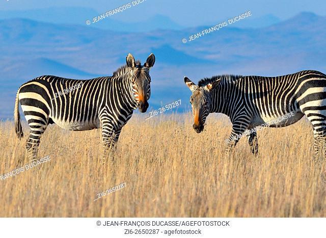 Cape Mountain Zebras (Equus zebra zebra), standing in the dry grass, in the evening light, Mountain Zebra National Park, Eastern Cape, South Africa, Africa