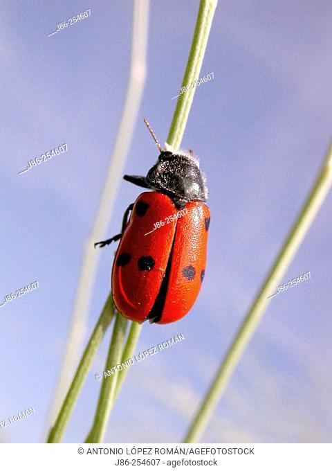 Beetle (Clytra quadripunctata)