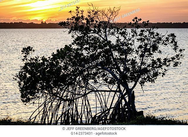 Florida, Jensen Beach, Indian River Lagoon, water, sunset, Rhizophora mangle, red mangrove, aerial prop roots, Order Malpighiales, Family Rhizophoraceae