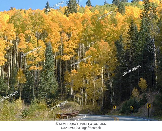 Aspen trees turn golden in autumn, New Mexico, USA