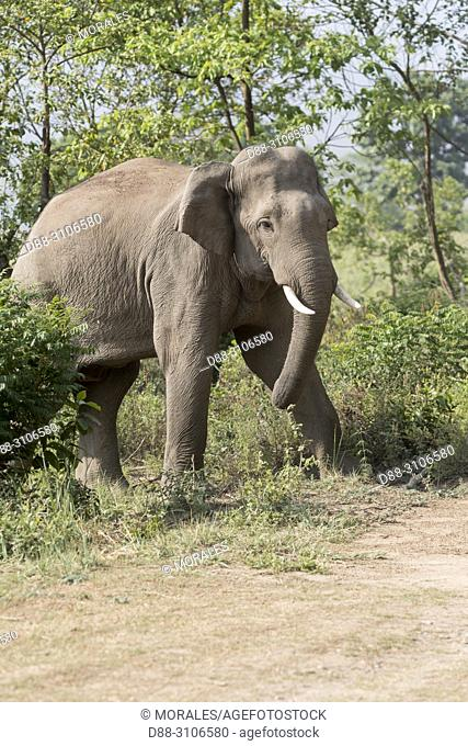Asia, India, Uttarakhand, Jim Corbett National Park, Asian or Asiatic elephant (Elephas maximus), crossing a road