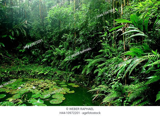 Ascension, Ascension Island, rain forest, green mountains, dewpond, pond, summit, peak, bamboo, fern, water lilies