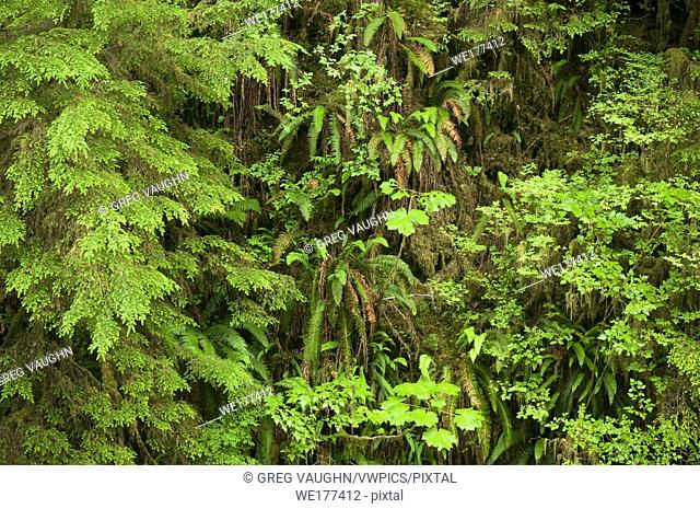 The verdant understory foliage of an old-growth temperate rainforest; Quinault Rainforest Trail, Olympic National Forest, Washington