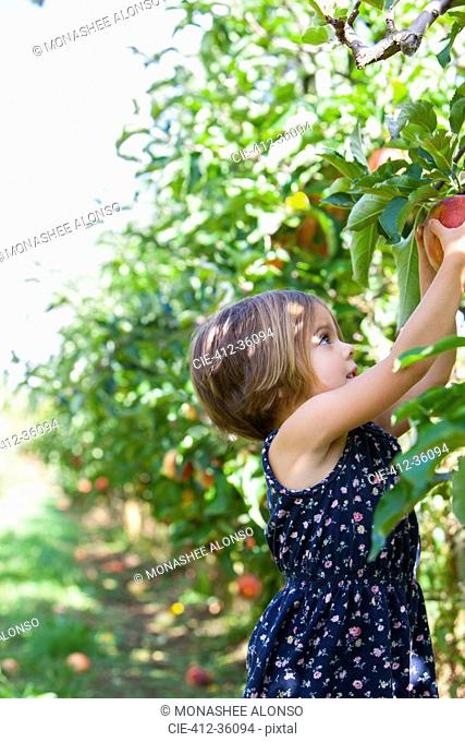 Girl picking apple from apple tree in orchard
