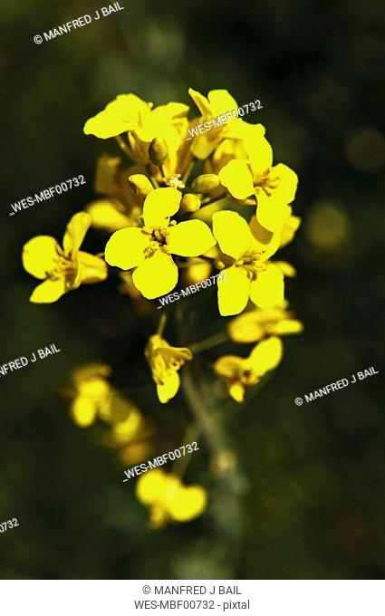 Rape bloom Brassica napus ssp  oleifera, close-up
