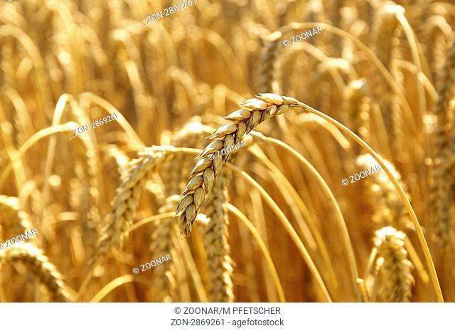 Closeup of a golden ear ot wheat, ready to be harvested and made into bread