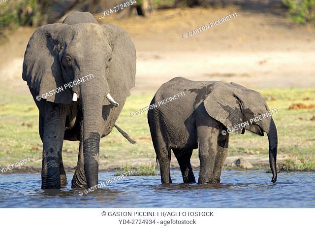 African Elephant (Loxodonta africana), in the river, Chobe National Park, Botswana