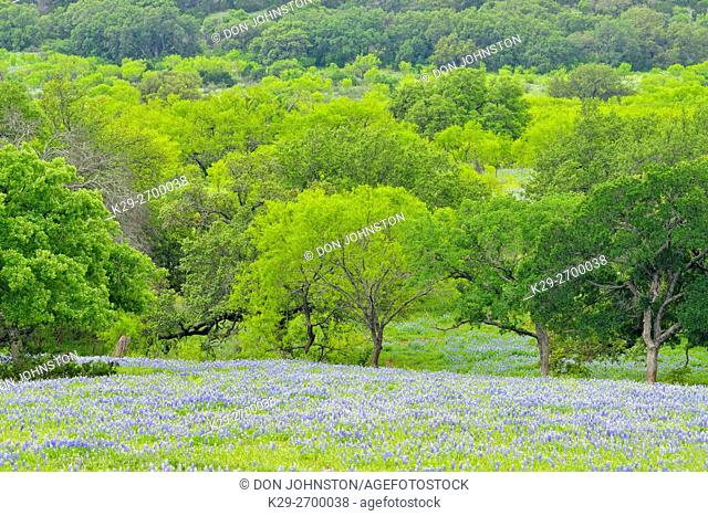 Texas bluebonnets, oak and mesquite trees with spring foliage in a large field, Llano County CR 310, Texas, USA