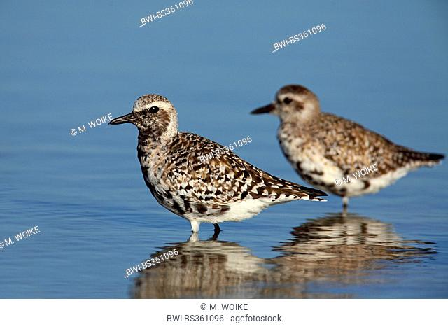 grey plover (Pluvialis squatarola), birds in winter plumage and in transition to breeding plumage, USA, Florida