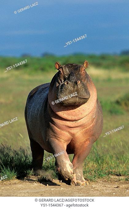 Hippopotamus, hippopotamus amphibius, Adult in Masai Mara Park, Kenya