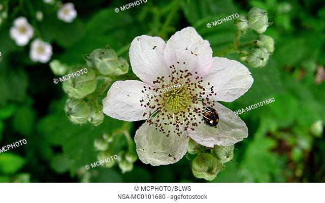 Rubus fruticosus, shrubby blackberry