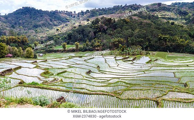 Rice fields. Flores island. Indonesia, Asia