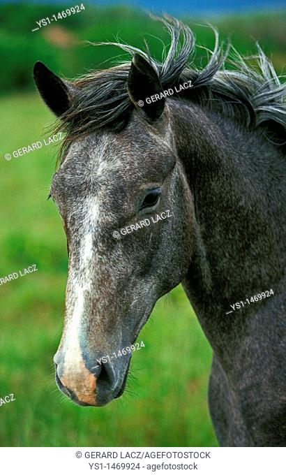 Lipizzan Horse, Portrait of Adult