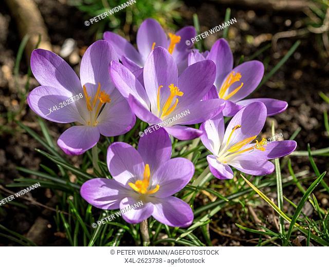 Crocus blooming in spring