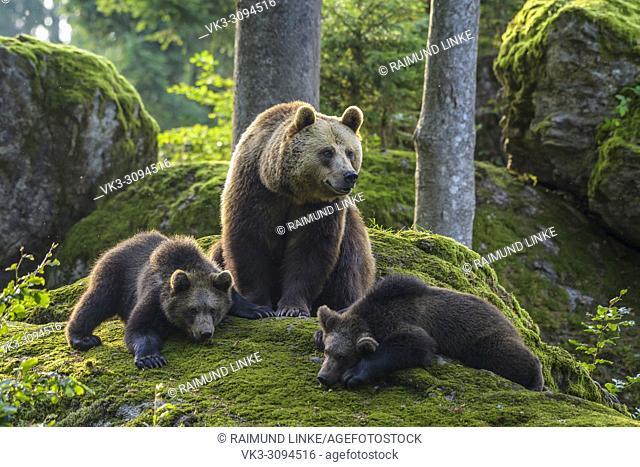 European Brown Bears, Ursus arctos, Female with cubs, Bavaria, Germany
