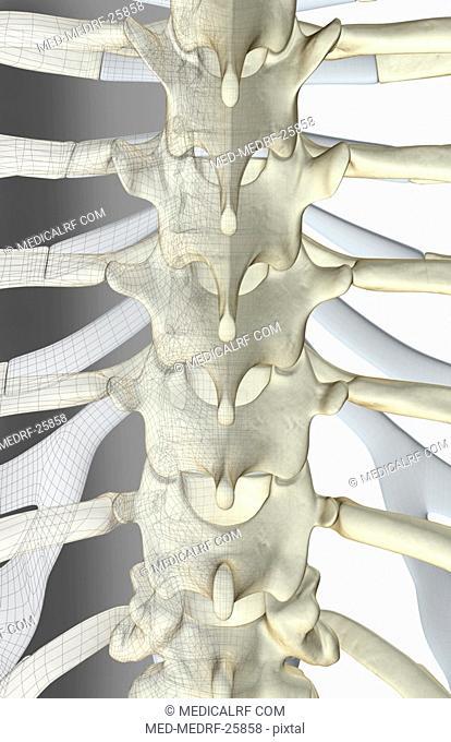 The bones of thoracic vertebrae