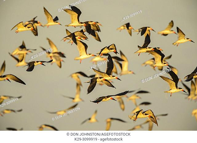 Black skimmer (Rynchops niger), Goose Island State Park, Texas, USA