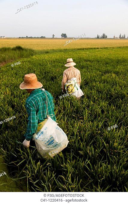Rice fields, Ebro Delta, Tarragona Province, Catalonia, Spain
