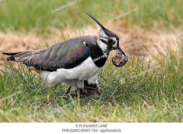 Northern Lapwing Vanellus vanellus adult female, summer plumage, picking up empty egg shell in beak, with chick at nest, Midlands, England, april
