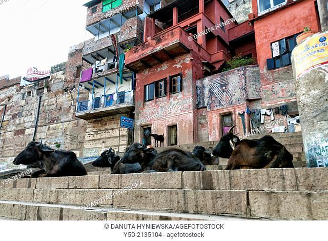 Cows laying at Narad Ghat, Varanasi also known as Benares, Banaras or Kashi, city on the banks of the Ganges in Uttar Pradesh