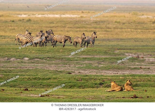 Two lions (Panthera leo) and a group of Burchell's Zebra (Equus quagga burchelli), Chobe National Park, Botswana