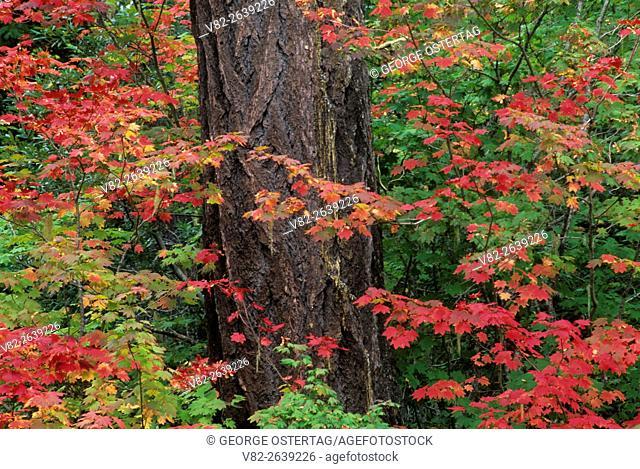 Vine maple & Douglas fir at Clear Lake, Willamette National Forest, Oregon