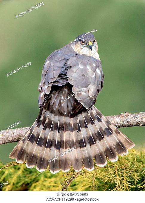 Adult Sharp-shinned Hawk, Accipiter striatus, fanning its tail in Saskatoon Saskatchewan